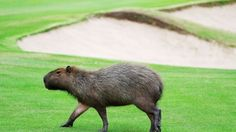 Capybaras took over the Olympic golf course and we should let them stay.  The world's largest rodents deserve a gold medal for being adorable.