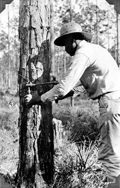 """SCRIBING a turpentine pine (1930s)  