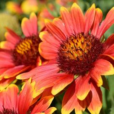 Native to the plains and Western U., Blanket Flower adds vibrant, bold color to any sunny garden and blooms for months. This perennial Gaillardia is extremely easy to grow and will dazzle the summer garden year after year with spectacular blooms. Summer Garden, Home And Garden, Gloriosa Daisy, Zinnia Elegans, American Meadows, Wildflower Seeds, Big Flowers, Garden Stones