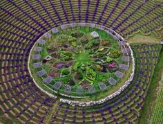 Lavender labyrinth at Cherry Point Farm, Michigan. This is amazing!