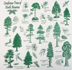 Identifying Types Of Pine Trees Google Search Types Of Evergreen Trees Conifer Trees Types Of Pine Trees