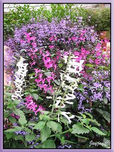 Dainty lavender-purple flowers of Plectranthus 'Mona Lavender' Country Cottage Garden, English Country Cottages, Cottage Gardens, Lavender Varieties, Raised Planter, Garden Nursery, Water Wise, Types Of Plants, Lush Green