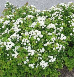 Koivuangervo – Spiraea betulifolia (björkspirea):