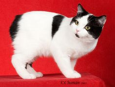 manx - adictive - I can't have just one. [cat without a tail]
