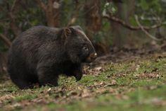 Wombat by bredli84