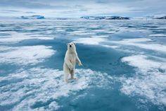 Internationaler Eisbärentag