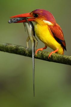 The Rufous Back Kingfisher is happy, but that lizard sure isn't!  by Ban Hor Ng