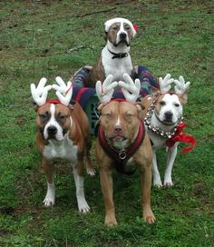 From a pit breeder& website. Pits playing together, doing agility, going on hikes. almost like they were normal dogs. Christmas Animals, Christmas Dog, Christmas Crack, Merry Christmas, Xmas, I Love Dogs, Cute Dogs, Puppy Love, Pitbulls