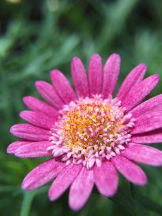 Closeup of flower taken with inmacus HD macro on iPhone 6s