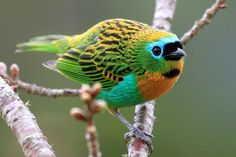 A Tanager: the only bird that is both beautiful and has symbolism of something terrible. (I.e. War, blood shed.)