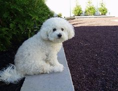 Ripley's portrait on the garden wall. Bichon Dog, Maltese Dogs, Cute Puppies, Cute Dogs, Sweet Dogs, Dog Id, Adoptable Beagle, Baby Cats, Cute Baby Animals