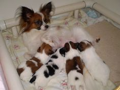 Lilybelle with past MerryMaker puppies Animals And Pets, Baby Animals, Cute Animals, Papillion Puppies, Cute Dogs And Puppies, Little Dogs, Dog Pictures, Dog Toys, Best Dogs