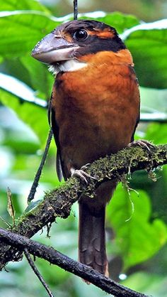 Shovel Billed Kingfisher, Papua New Guinea,  birding facts Birding Resources by the Fat Birder for Papua New Guinea