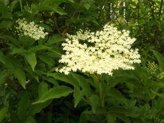 Geroosterde vlierbloesem http://kokenmetonkruid.blogspot.be/