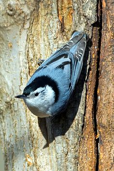 The White-breasted Nuthatch (Sitta carolinensis) is a small songbird of the nuthatch family which breeds in old-growth woodland across much of temperate North America. The breeding habitat of the White-breasted Nuthatch is woodland across North America, from southern Canada to northern Florida and southern Mexico.