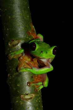 Gliding leaf frog. When these frogs are in a hurry to get down to the ground or are fleeing from a predator, they will freefall from their treetop perch. As they fall, they will spread their extensively webbed fingers and toes, breaking their fall.