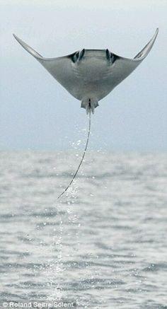 Fliegende Rochen