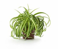 This AIR PURIFYING SPIDER PLANT is considered one of the most adaptable of houseplants and the easiest to grow. Called spider plant because of its spider-like plants, or spiderettes, which dangle down from the mother plant like spiders on a web.