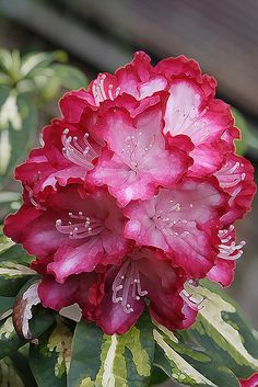 Vibrant Pink Rhododendron - the flower's great - but check out that foliage!  Amazing!
