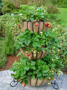 Strawberries can be grown in a planter instead of a garden bed. Master Gardeners recommends planter dimensions of 6″ to 8″ deep by 5″ to 7″ wide by 18″ to 4′ long, with plants spaced 10″ to 14″ apart.