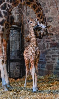 Mama and baby Rothschild giraffe. One of the most endangered giraffes in the world.