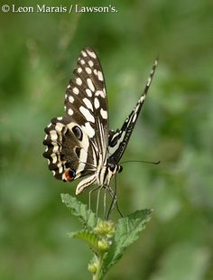 Citrus Swallowtail #Nelspruit All The Small Things, Moth, South Africa, Butterfly, Papillons, Insects, Butterflies, Caterpillar