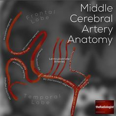 Read on for more about the anatomy of the middle cerebral artery  MIDDLE CEREBRAL ARTERY (MCA) ANATOMY 👨🏽💻Why is it important to know… Cranial Nerves Anatomy, Nerve Anatomy, Brain Anatomy, Medical Anatomy, Anatomy And Physiology, Radiology Residency, Arteries Anatomy, Vascular Ultrasound, Mri Brain