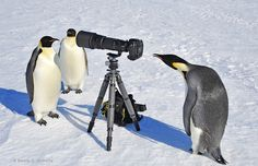 Penguin Paparazzi - Check out these penguins taking over a Photographer's equipment! (click for more hilarious pics)