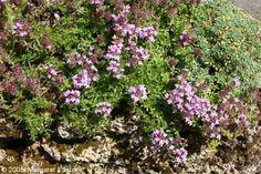 Thymus 1: Thyme in the Garden (1)