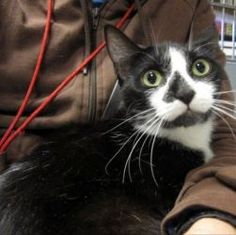 Pandora *URGENT* is an adoptable Domestic Short Hair-Black And White Cat in Berkeley, CA. Pandora is a pretty black and white girl with beautiful markings. She was born April 14, 2010 approx. She love...