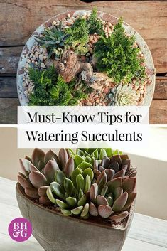 Whether your succulents are indoors, in outdoor containers, or in the ground, find out from Better Homes and Gardens how often you should water them and the best practices for ensuring that your plants are well cared for. Succulent Gardening, Succulent Care, Planting Succulents, Container Gardening, Organic Gardening, Planting Flowers, Watering Succulents, Indoor Gardening, Succulent Plants