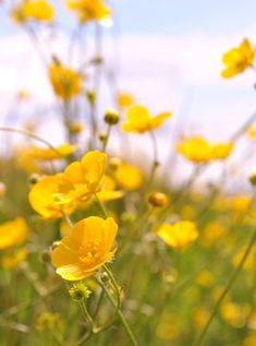 "Buttercup flowers mean ""Riches and Memories of Childhood"" in the Victorian Language of Flowers."