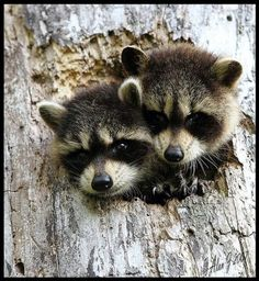 Two raccoons sticking their heads out of a hole in a tree.