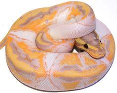 NERD - Coral Glow Pastel Pied Ball Python