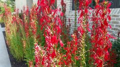 Cardinal Flower (Lobelia cardinalis) features long-lasting red blooms in late summer.