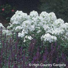 Phlox paniculata David  Cutting Garden