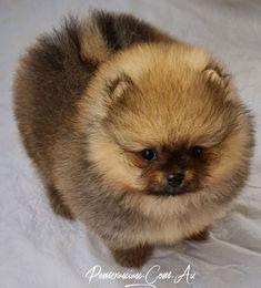 Pomeranian Breeders, Cute Pomeranian, Pomeranians, Cute Baby Animals, Animals And Pets, Cute Puppies, Cute Dogs, Dog Information, Lana Turner