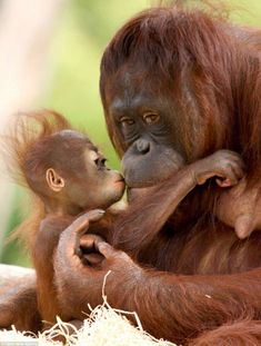 This is the adorable moment eight-month-old baby orangutan Indah gave her mother Samboja . This is the adorable moment eight-month-old baby orangutan Indah gave her mother Samboja . Cute Baby Animals, Animals And Pets, Funny Animals, Mother And Baby Animals, Animals Images, Funny Dogs, Beautiful Creatures, Animals Beautiful, Baby Orangutan