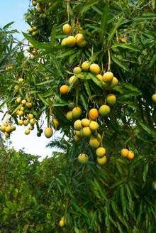 Glenn Mango Tree Mangifera For Brighter Blooms Nursery Possible Trees And Plants Pinterest Perennials