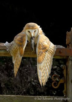 'Mantling' by Sue Edwards. (Barn Owl) this is common prey behavior for raptors. They do this to hide their prey from others. I have also seen this behavior when chicks are threatened in the nest.EM eagle owls of paradise birds Beautiful Owl, Animals Beautiful, Owl Photos, Owl Bird, Pretty Birds, Birds Of Prey, Fauna, Beautiful Creatures, Animal Photography