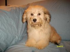Light Sable Havanese is an adoptable Havanese Dog in Follansbee, WV. This is the lightest of the sables.  He looks more cream, but does have the dark tipping.  He is a sweet, handsome boy.  He is frie...