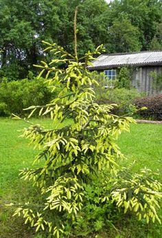 Picea orientalis Aureospicata - Sök på Google