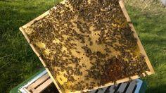 Vollständig bestiftete Brutwabe der Buckfast Bienenvölker