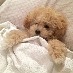 Image about cute in 𝓪𝓷𝓲𝓶𝓪𝓵𝓼 🐶 by ✿ jordi ✿ on We Heart It Cute Baby Animals, Animals And Pets, Nature Animals, Cute Dogs And Puppies, Doggies, Cute Creatures, Poodles, Mans Best Friend, Fur Babies