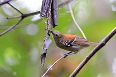 Choquinha-do-rio-roosevelt (Epinecrophylla dentei)