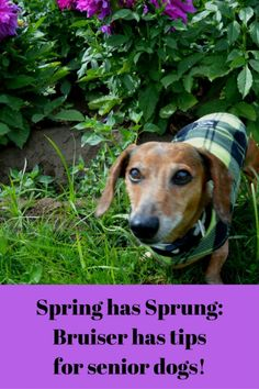 Spring has Sprung- Bruiser has tips for senior dogs! Activities you can do with your older dog.