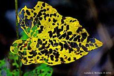 Holey Autumn Leaf Color Photograph Inspirational Wood