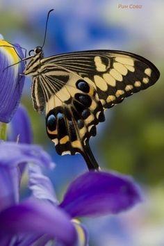 Tiger swallowtail on purple Iris