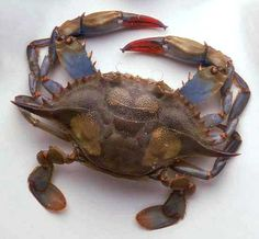 Chesapeake Bay blue crab- used to go crabbing off the pier with Dad. We'd set traps, take them home, and cook them that night with Ma's hush puppies. Yummmmmm