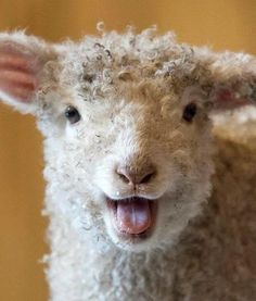 A three week old lamb bleats at the camera inside the barn at our Grassmere…